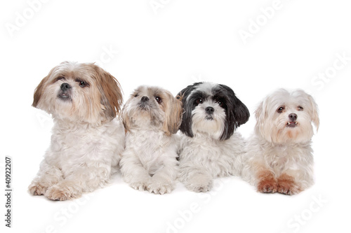 Four small dogs