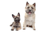 Puppy and adult cairn Terrier - 40923880