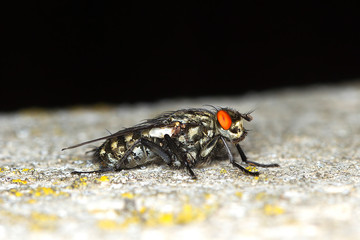 extreme close-up Grey-Striped Fly / Sarcophaga aurifrons