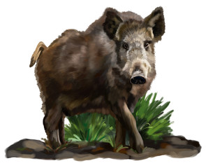 Wild boar on a white background