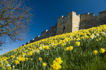 Daffodils on the city walls in York