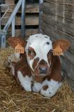 Animal ferme vache 07