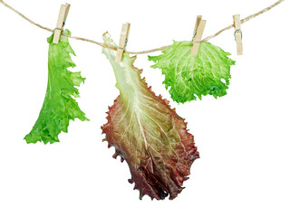 Lettuce hang up to dry isolated on white background
