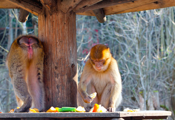 two macaque eating a fruits