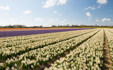 White Hollandse Hyacinthus