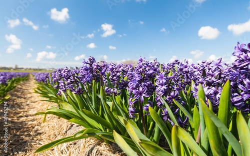 Hollandse Hyacinthus