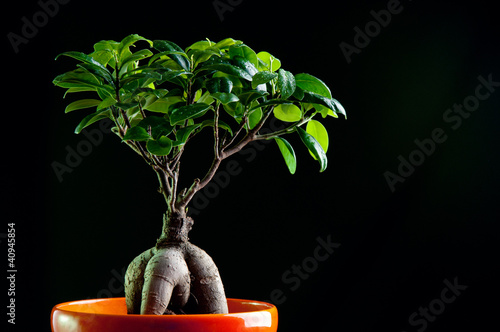 Ficus retusa with decorative roots, black background
