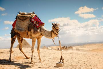 camel in the desert in Giza , Egypt