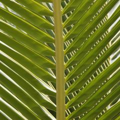 Coco palm leaf