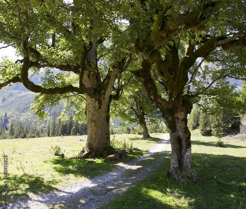 Fototapeten,ahorn,alpen,baum,bavaria