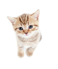 top view of baby Scottish british kitten isolated on white backg