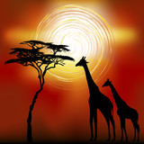 African landscape flora and fauna in sunset time with giraffes. poster