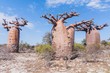 Baobab forest and savanna