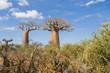 Baobab trees and savanna