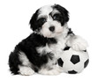 Cute sitting havanese puppy dog with a soccer ball