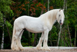 White Shire horse standing near the spring forest.