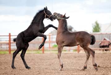 Two Friesian foals playing in the platz at summer.