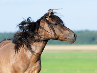 Belarus horse gallops in pasture at summer time.
