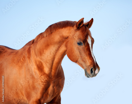 Portrait of Arabian horse against a background of the blue sky.
