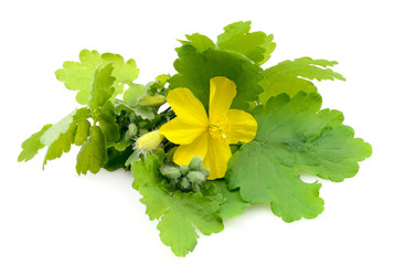 celandine flowers isolated