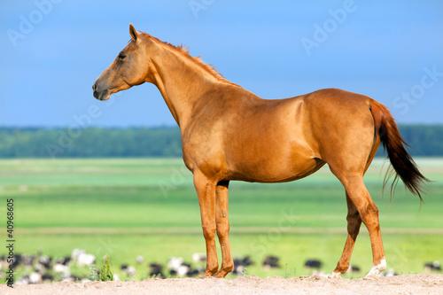 Chestnut Budenny konia patrząc na krowy na polu.
