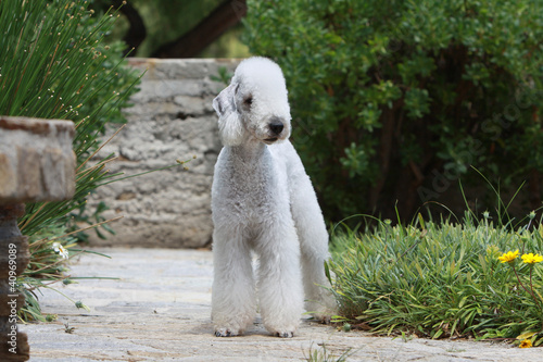 Papiers peints Sheep bedlington terrier debout de face
