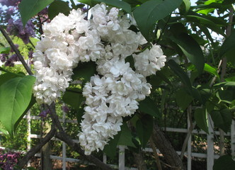 White lilacs growing by white picket fence in Spring