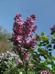 Colorful lilacs growing in Spring garden
