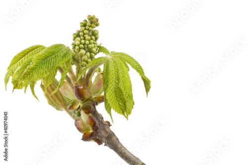 Zweig und junge Blätter einer Rosskastanie