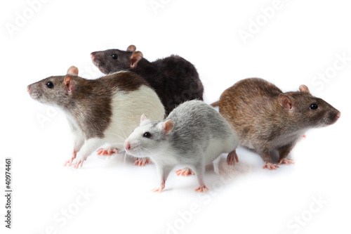 rats isolated