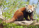 Fototapety Red panda or shining cat