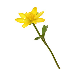 Vector Yellow wild flowers Ranunculus ficaria  ness isolated