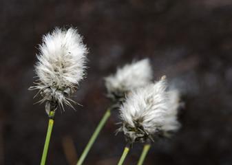 Wollgras blühend