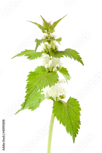 White dead-nettle (Lamium album), on white background.