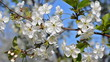 Cherry blossoms. Bee pollinating flowers