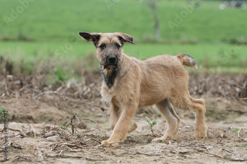 young Ardennes cattle dog with strange ears