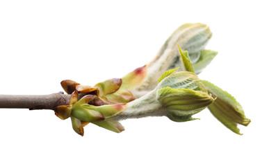 Spring branch of chestnut