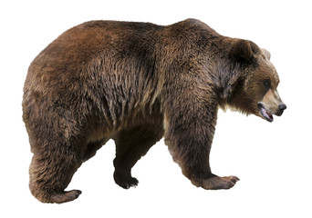 Isolated brown bear (Ursus arctos)