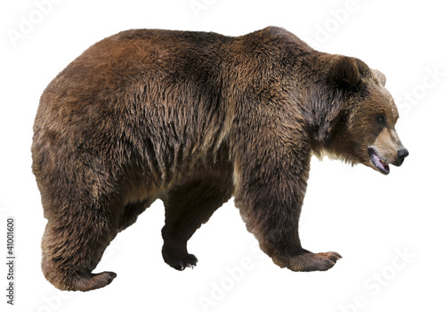 Aluminium Dragen Isolated brown bear (Ursus arctos)