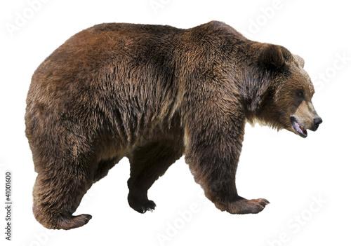 Canvas Dragen Isolated brown bear (Ursus arctos)