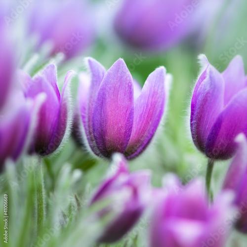 wiosna-kwiaty-pasque