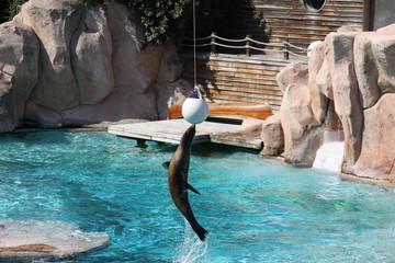 Otarie, phoque, jouant à la balle, saut hors de l'eau