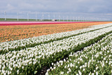 Dutch field of colorful tulips with windmills behind it