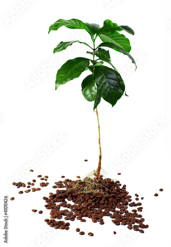 young coffee arabica plant with roots in beans. isolated