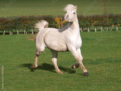 Welsh Stallion
