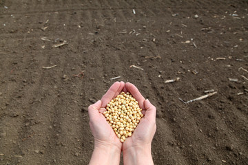 Agricultural concept soybeans in hands and field
