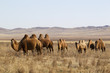 Bactrian camels in Mongolian steppes, Central Mongolia