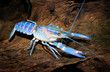 colourful australian blue crayfish - cherax quadricarinatus