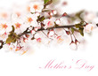 Cherry blossoms in bloom