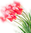 Red tulip flowers isolated on white